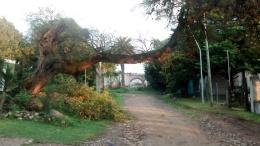 Algarrobo calle 25 de Mayo